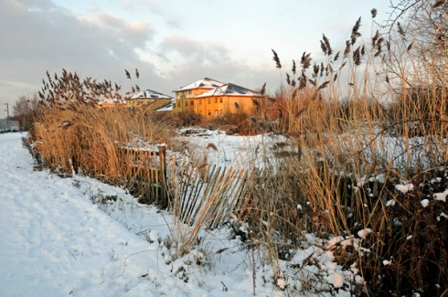 (c) Pat Tuson - Gillespie Park Local Nature Reserve under snow with Common reed Phragmites communis in foreground Highbury Islington London England UK.