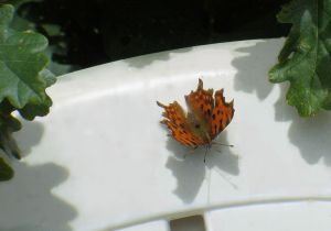 Comma butterfly photographed in June 2014.