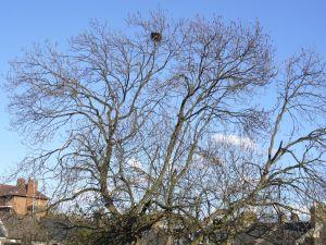 The ash tree, May 2011.