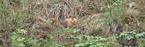 Sleeping fox and cub. Photo by XX
