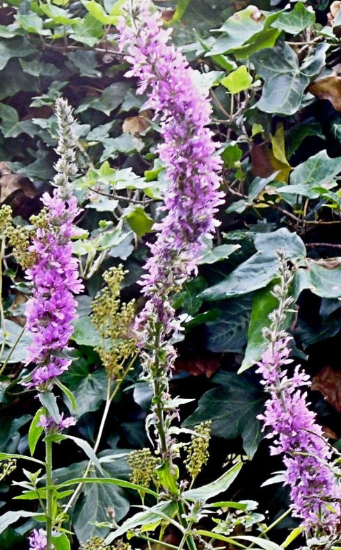 Three spires of purple loosestrife.