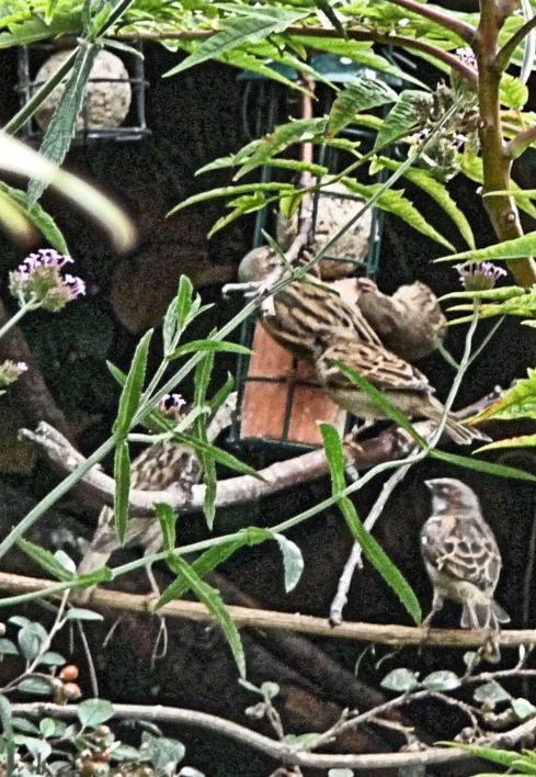 Sparrows visit the suetball.