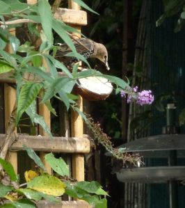 Starling enjoying a coconut treat.