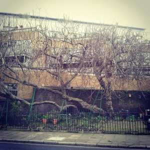 The wonderful Amwell Street fig - photo taken in February 2015.